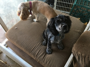 Seeking Pre Opportunities for Blue Merle Cocker Spaniel Listing Image Thumbnail