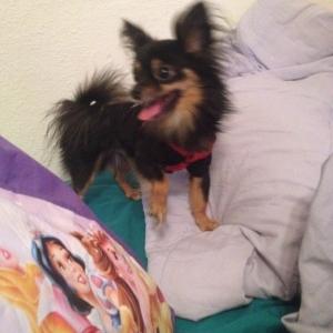 Long Hair Chihuahua Stud! Listing Image