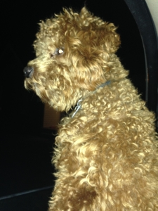 Red Toy Poodle for breeding Listing Image