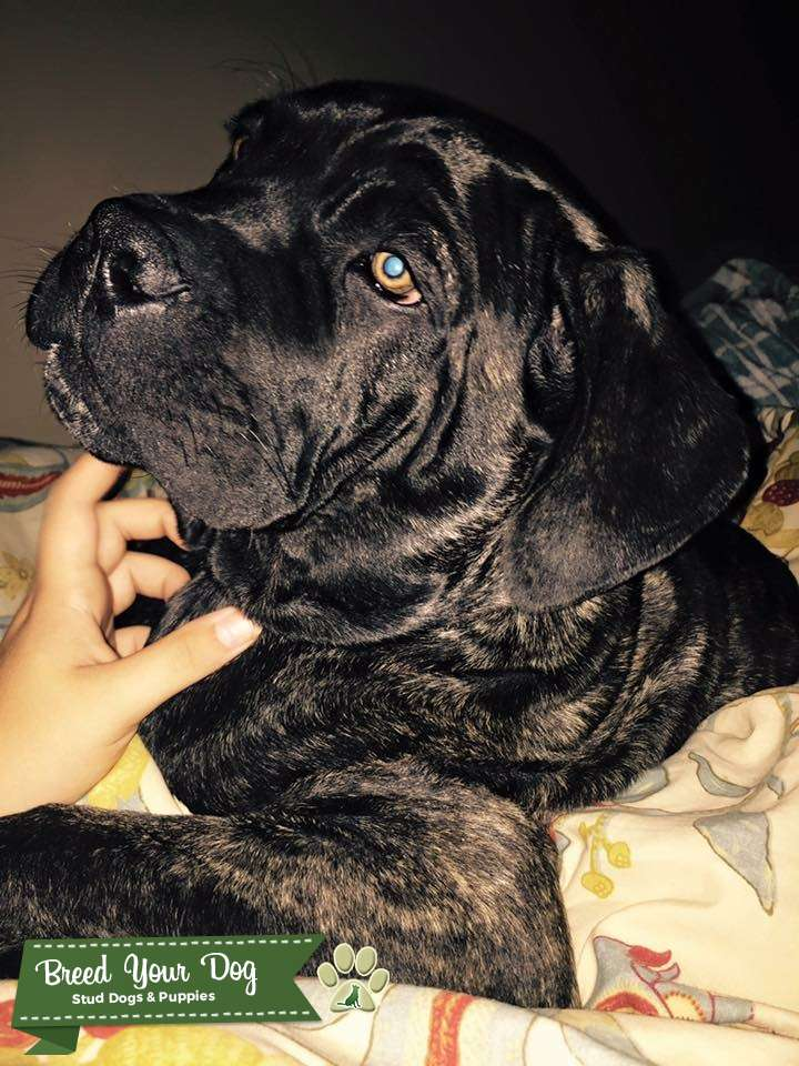 Neo Mastiff Listing Image Big
