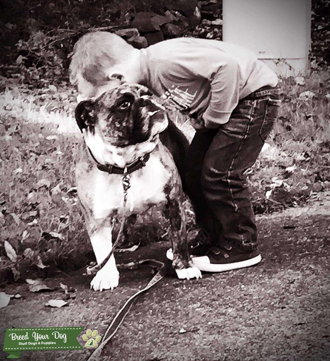Looking to breed stud american bulldog Listing Image Big