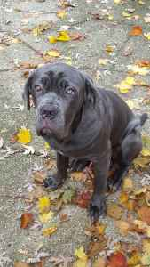 Blue Neopolitan Mastiff  Listing Image