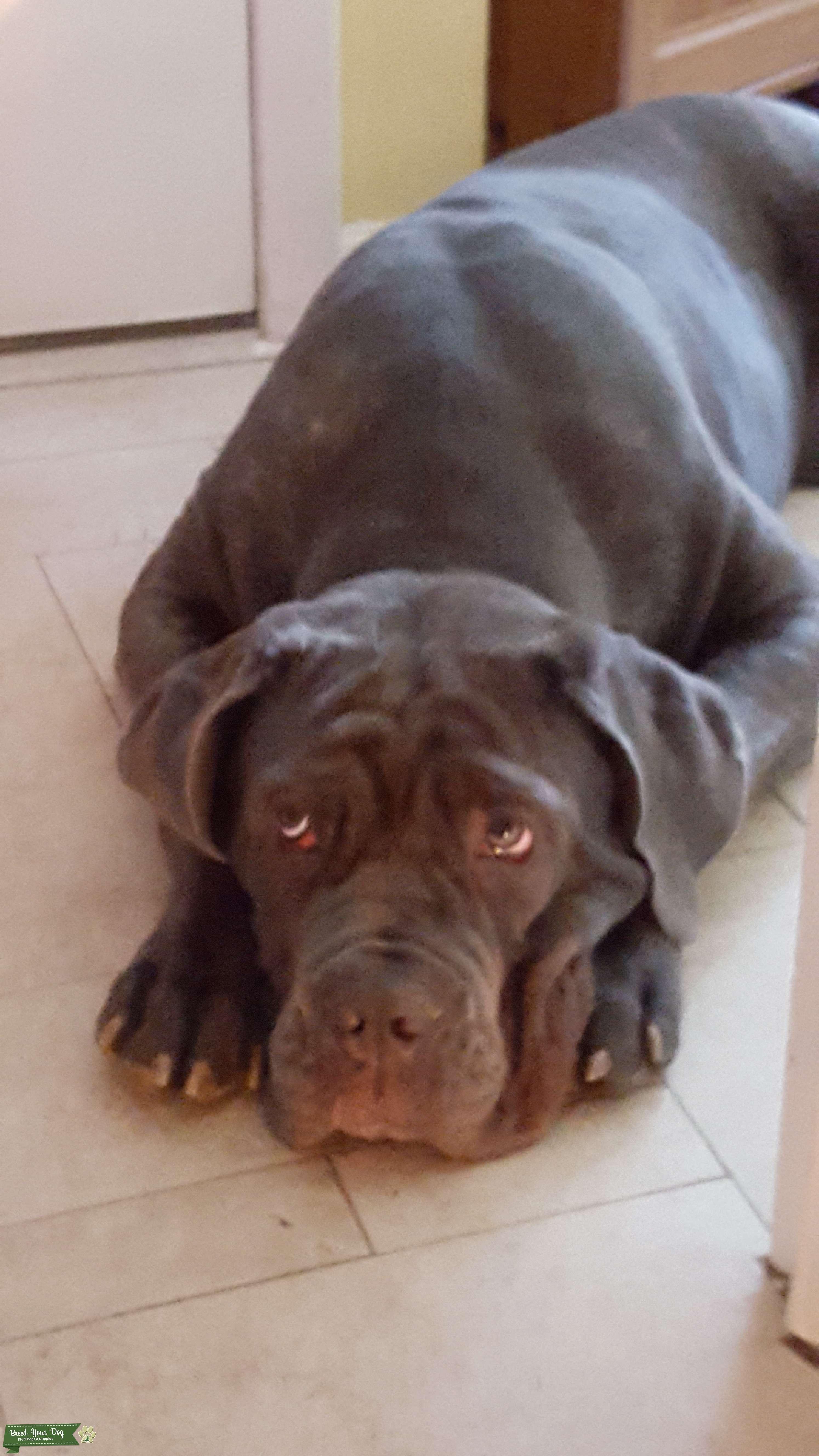 Blue Neopolitan Mastiff  Listing Image Big