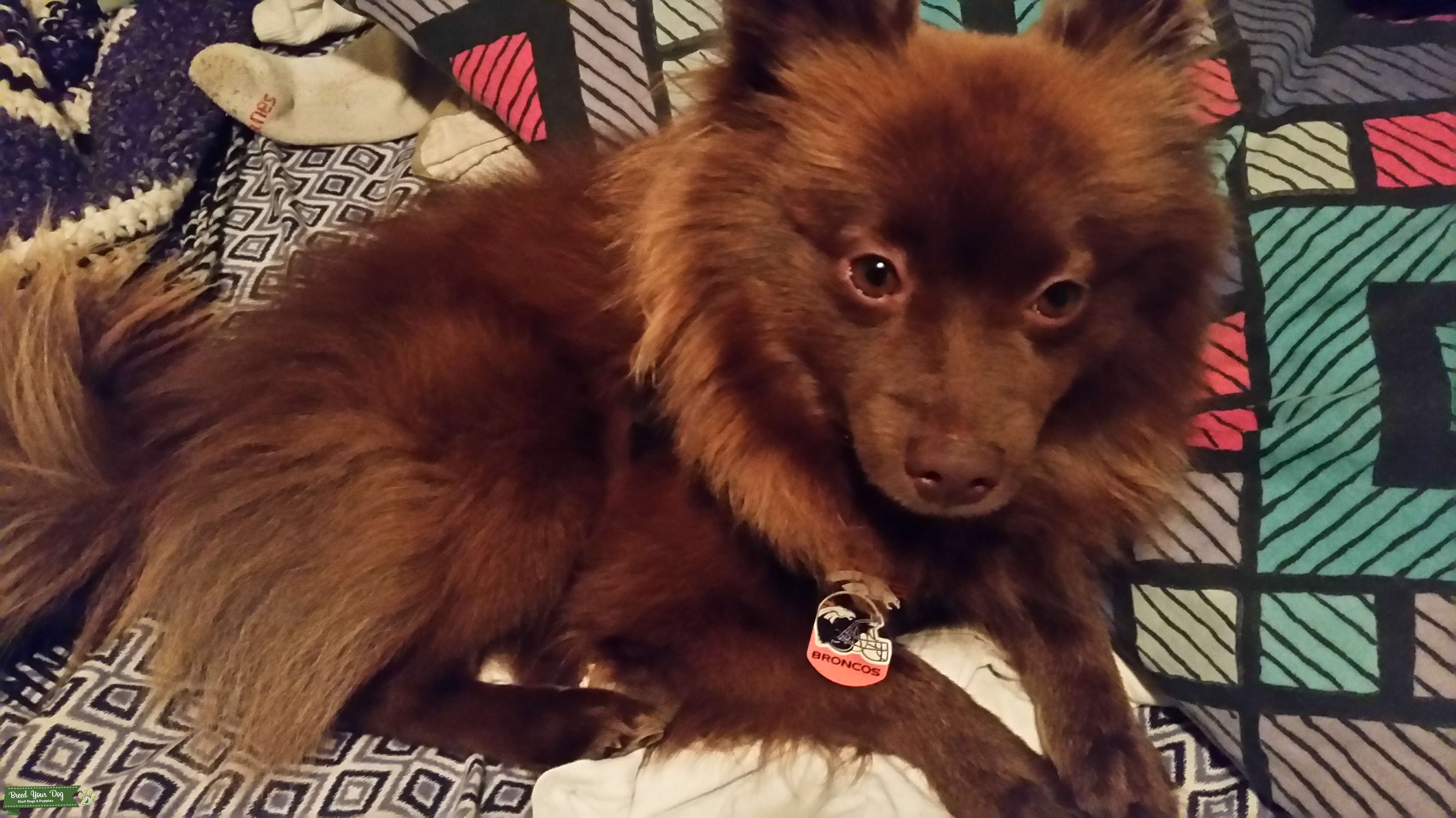 Looking to breed my 2yr old pomeranian  Listing Image Big