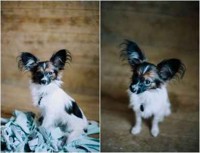 Champion lined Papillon  Listing Image