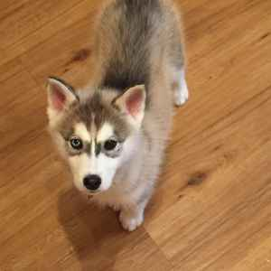 Siberian Husky for future breeding Listing Image