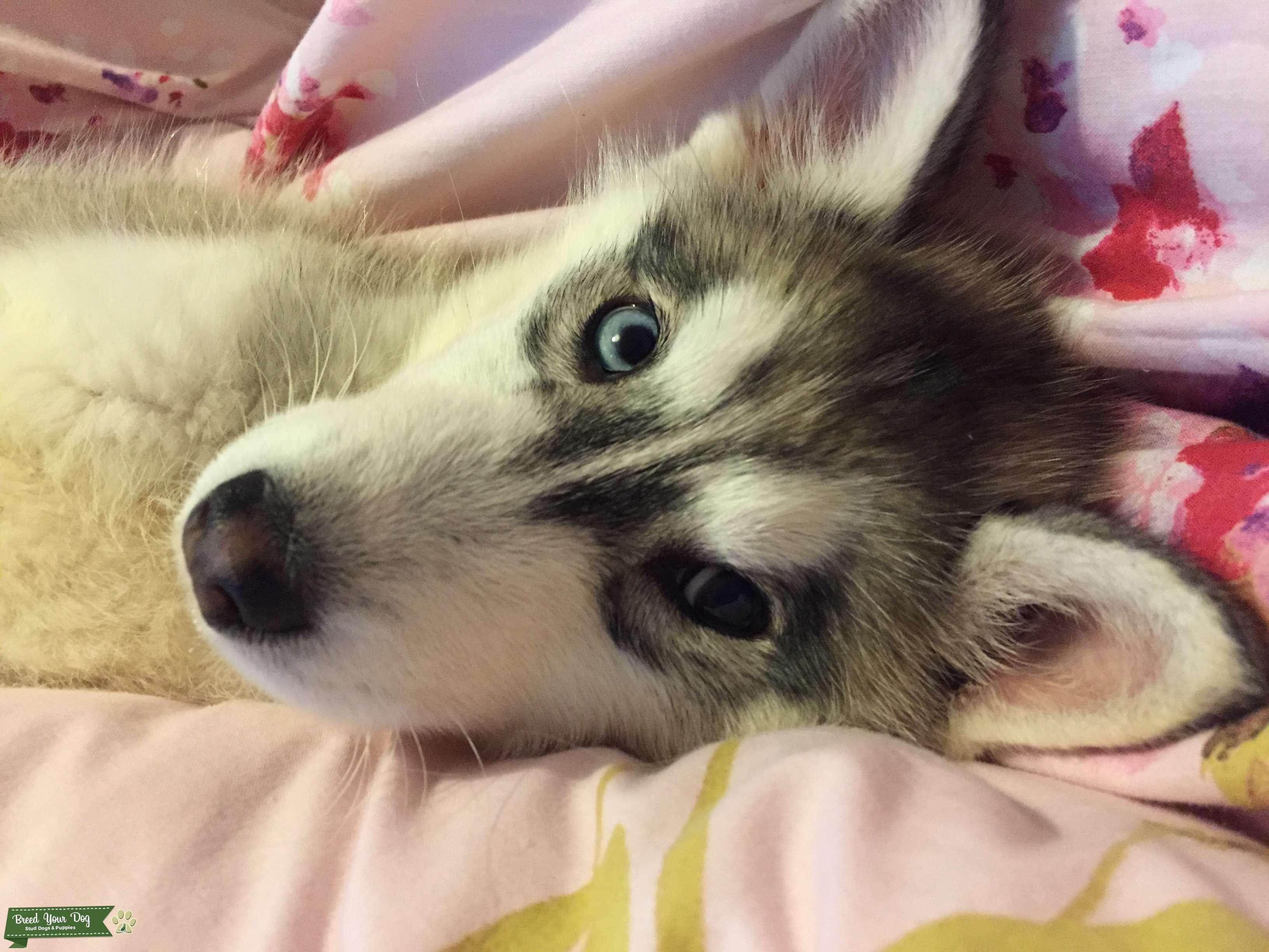 Siberian Husky for future breeding Listing Image Big