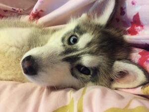 Siberian Husky for future breeding Listing Image Thumbnail