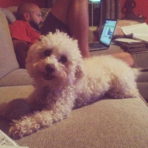 Adorable Small, White Toy Poodle Ready to Make Some Babies! Listing Image