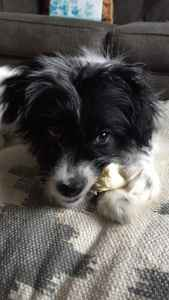 Black and white handsome Papillon. Listing Image