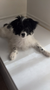 Black and white handsome Papillon. Listing Image Thumbnail