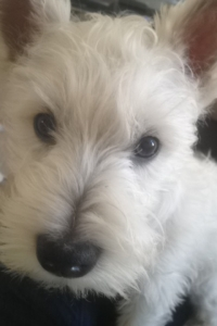 Beautiful Healthy West Highland Terrier Stud Listing Image
