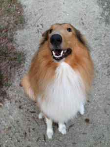 Rough Collie Ready to Stud Listing Image