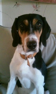 Treeing Walker Coonhound Stud Listing Image