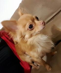 Tiny Apple head Chihuahua Stud Listing Image