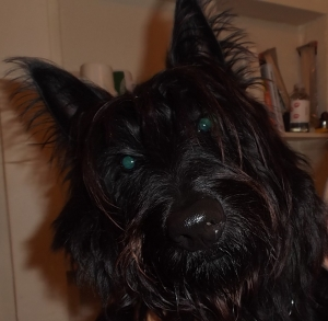 Scottish Terrier in Vancouver Listing Image