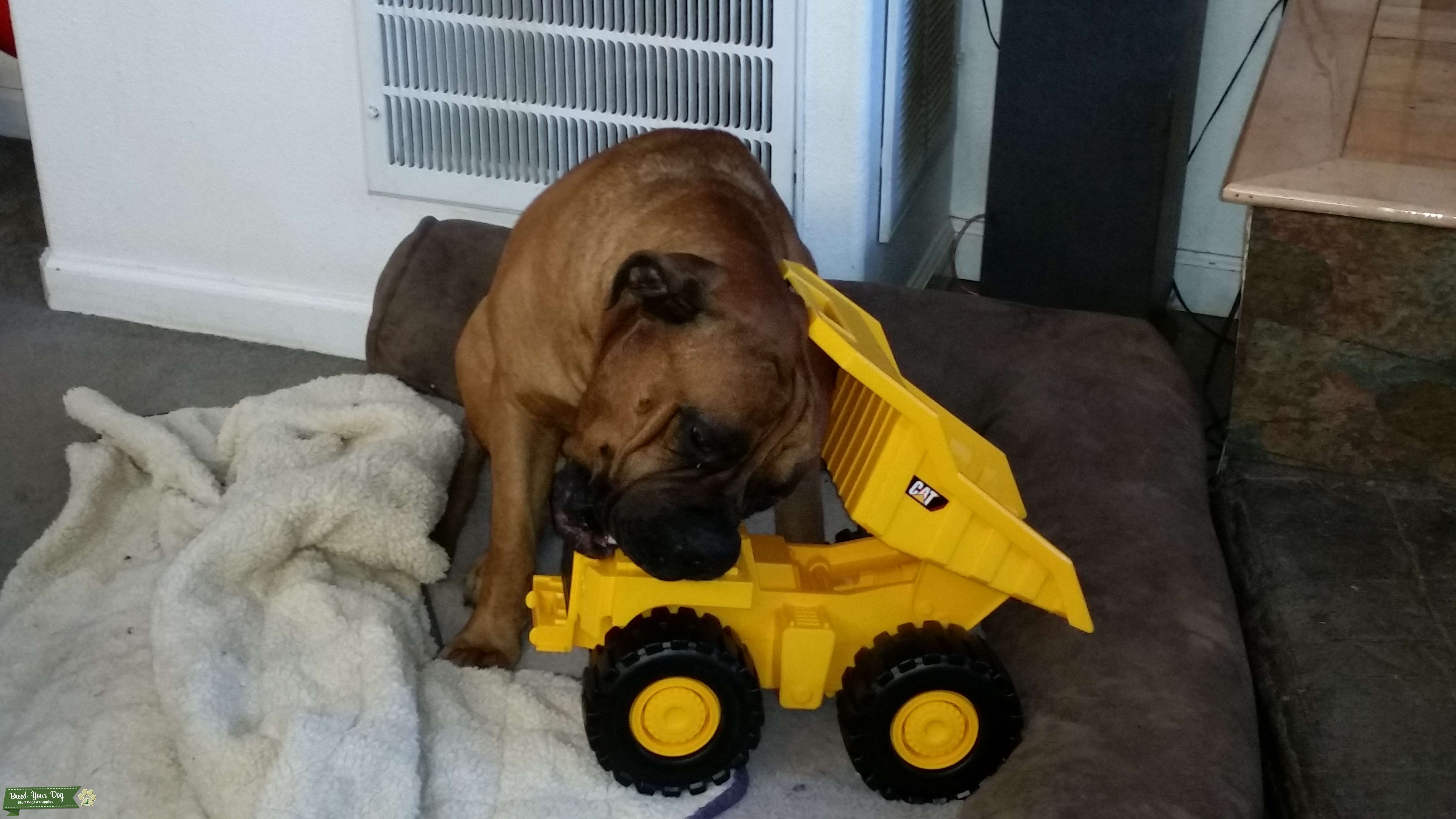 AKC Bullmastiff to stud for puppy Listing Image Big