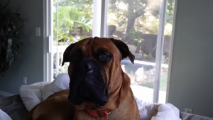 AKC Bullmastiff to stud for puppy Listing Image Thumbnail