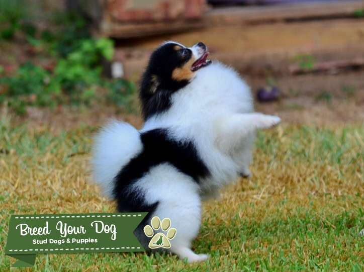 Tri Male Pomeranian for stud  Listing Image Big