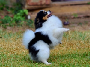 Tri Male Pomeranian for stud  Listing Image Thumbnail