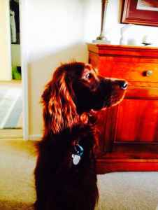 Handsome Pedigree Irish Setter for Stud Listing Image