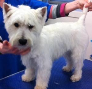 Proven KC Reg West Highland Terrier for stud Listing Image