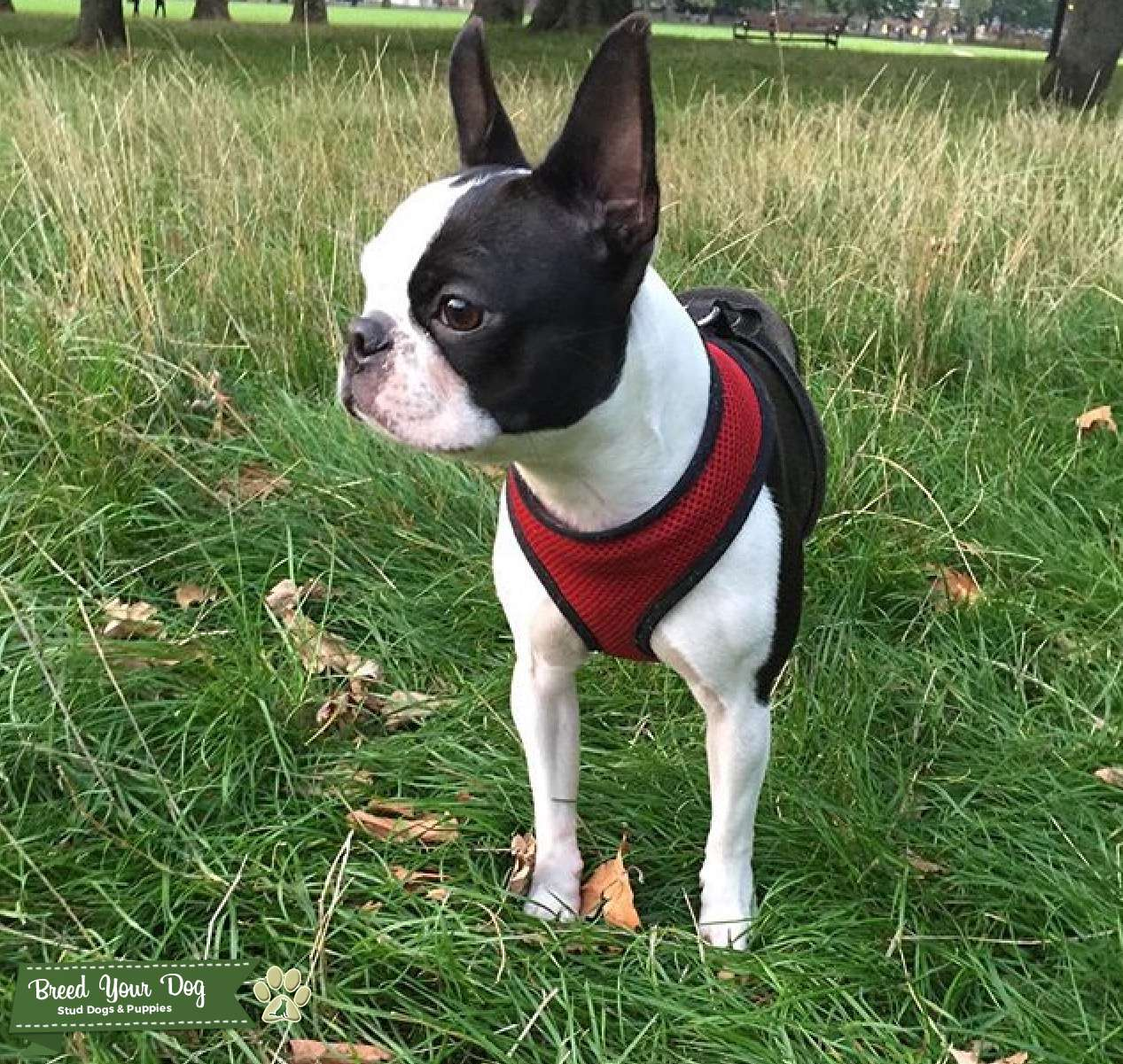 seal boston terrier stud dog female small white and seal boston terrier 5229
