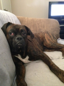 AKC Boxer For Stud Listing Image