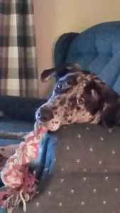 Beautiful Brindle Lab Bloodhound Listing Image