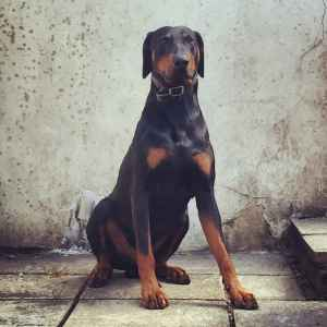 Black and Tan Doberman (Pedigree/Champion Blood) Listing Image