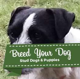 parsons russell stud dog Listing Image Big