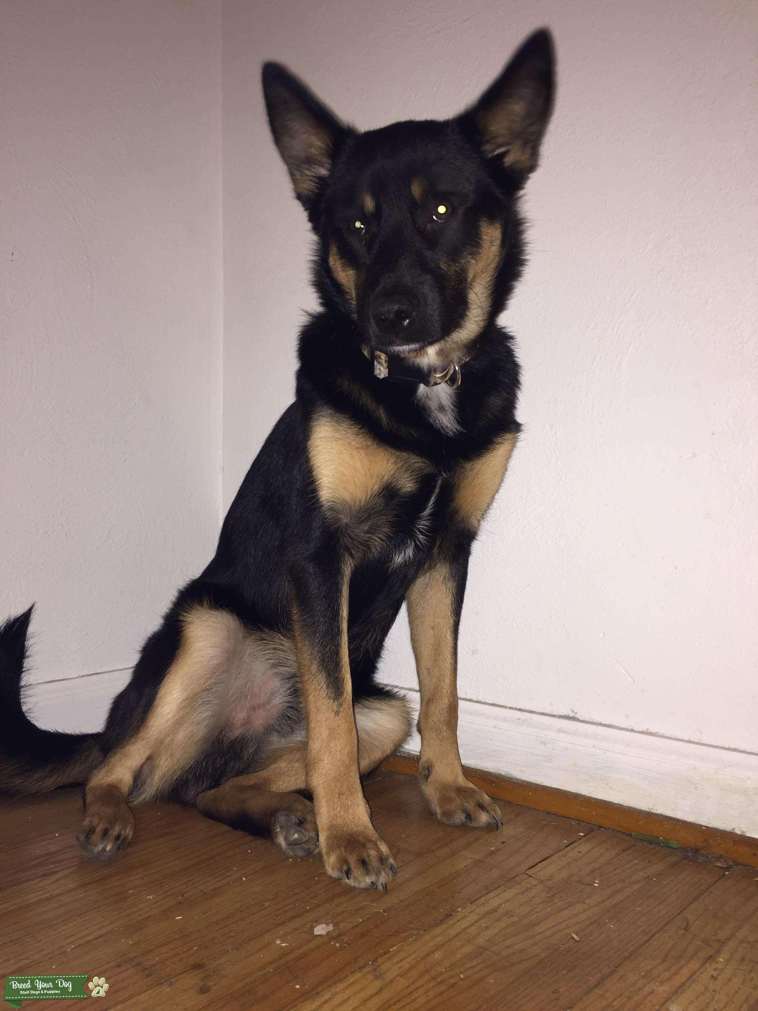 Our dog - Australian Shepherd / Blue Heeler mix | Heeler ...  |Blue Heeler Shepherd Husky Mix