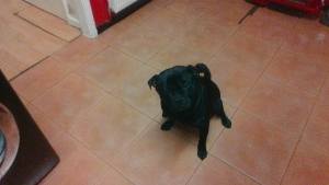 want to mate my pug x staff lovely looking dog  Featured Image
