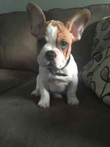 Fawn & White French Bulldog Listing Image