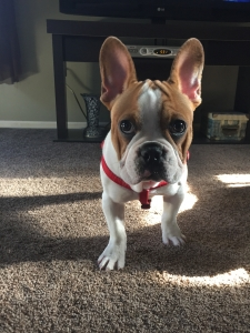 Fawn & White French Bulldog Listing Image Thumbnail