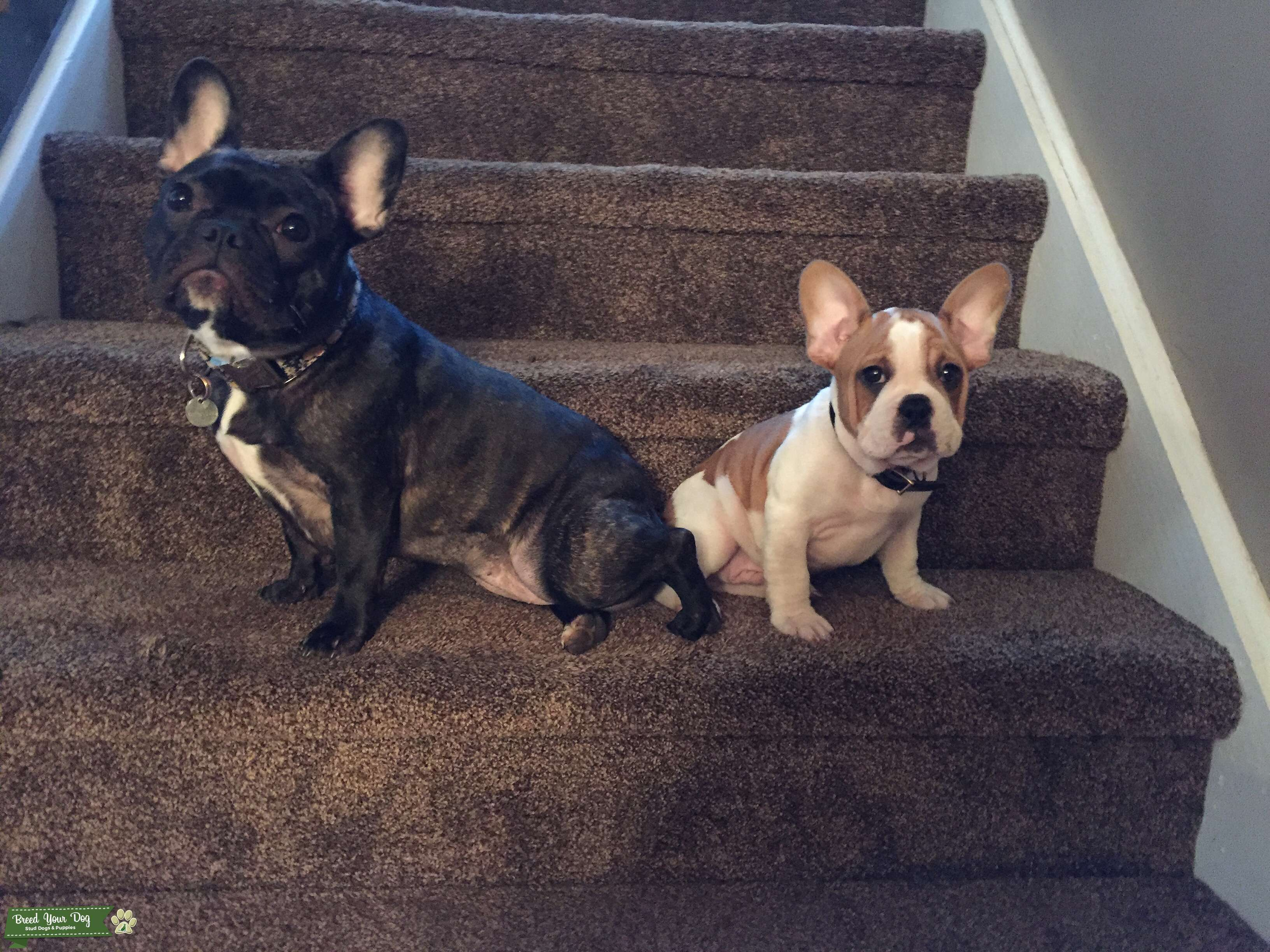 Fawn & White French Bulldog Listing Image Big