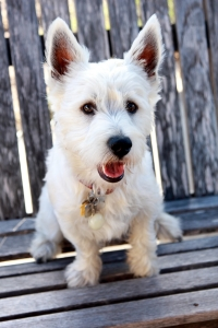 Beautiful and Friendly West Highland White Terrier  Listing Image