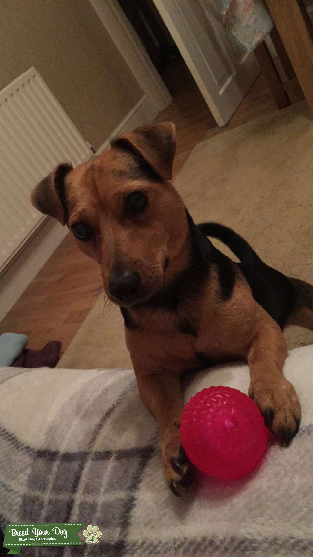 Healthy male jack Russell looking for female Listing Image Big