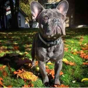 Stud Dog Tri Carrier Blue French Bulldog Breed Your Dog