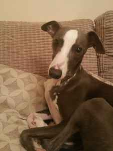 whippet for stud Listing Image
