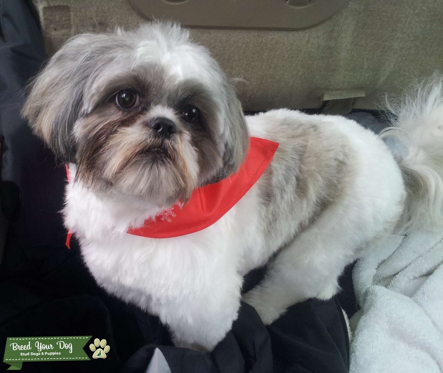 Stud Dog White Black And Silver Shih Tzu Breed Your Dog
