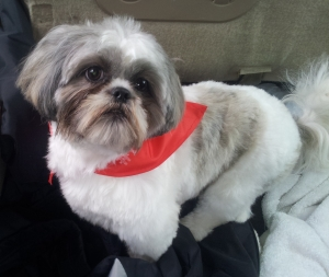 White, Black, and Silver Shih Tzu Featured Image
