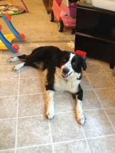 Bordernese Stud needed for breeding my Dog Listing Image