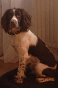 Springer Spaniel For Stud Featured Image