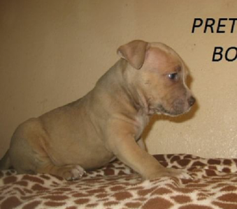 American Bully  Listing Image