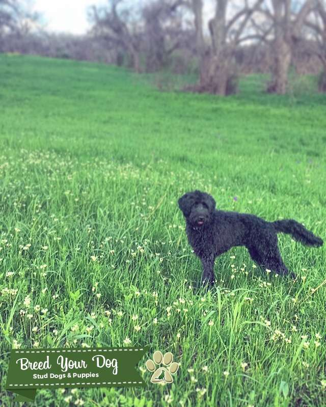 Standard Schnoodle - Low Shed, High Intelligence Listing Image Big