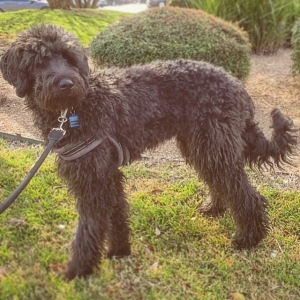 Standard Schnoodle - Low Shed, High Intelligence Listing Image Thumbnail
