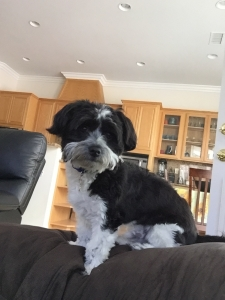 Havanese Male Looking for a Mate Listing Image