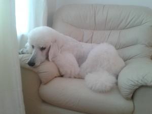 Standard Poodle for Stud Listing Image