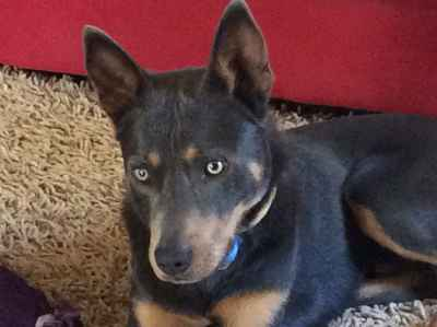 Purebred Working Blue Kelpie Listing Image